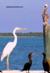Stiltsville birds great white egret pelican cormorant judy summers photos
